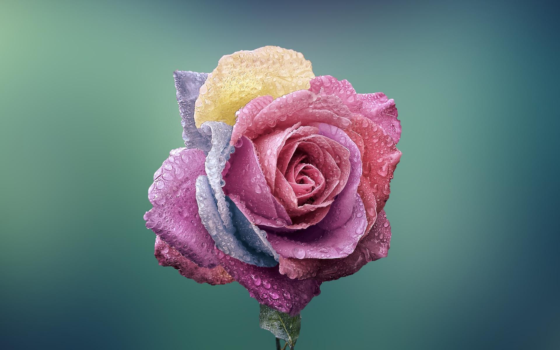 Деда мороз, картинка с розой