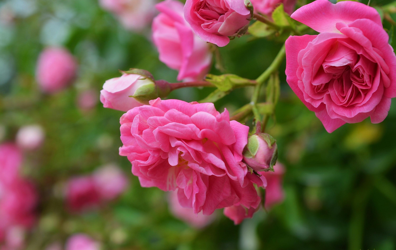 Розовая роза бесплатно