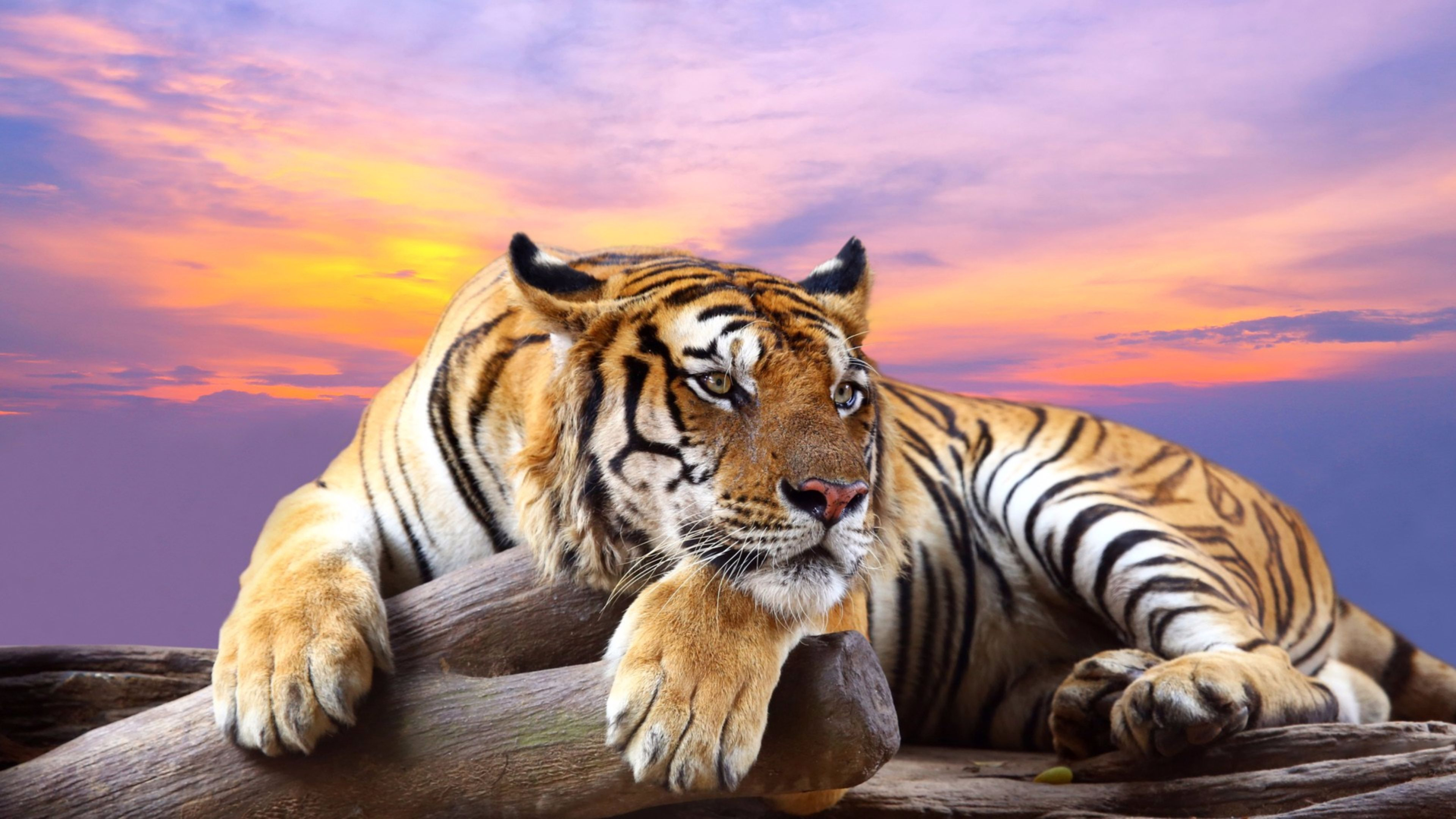 buy tigers online Welcome to america's #1 online cigar auction cigarbid is a fun and convenient way to purchase fine cigars at great prices every day, we provide ongoing, live auctions on a.