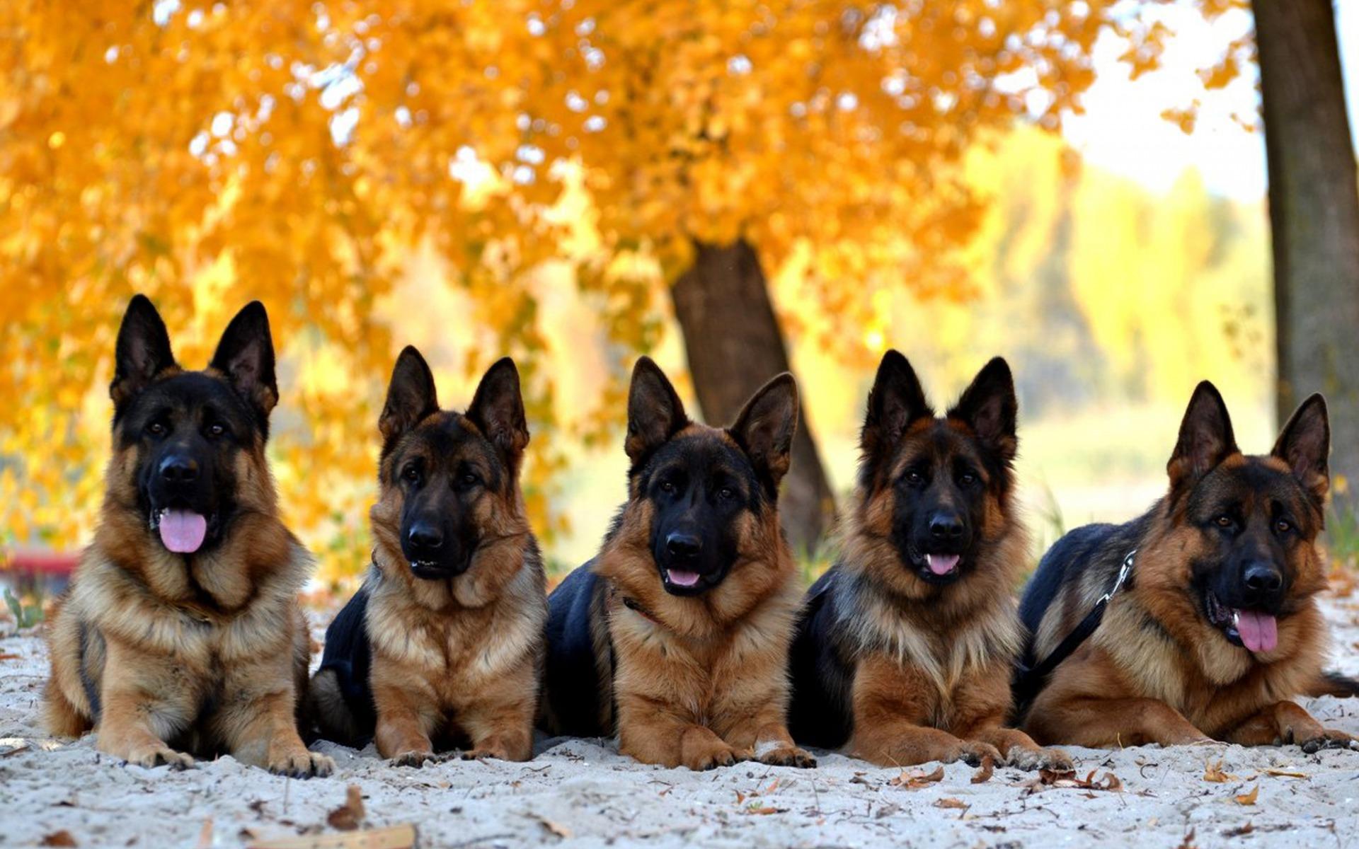 картинки про собак овчарок маленьких грубой солдатской формой