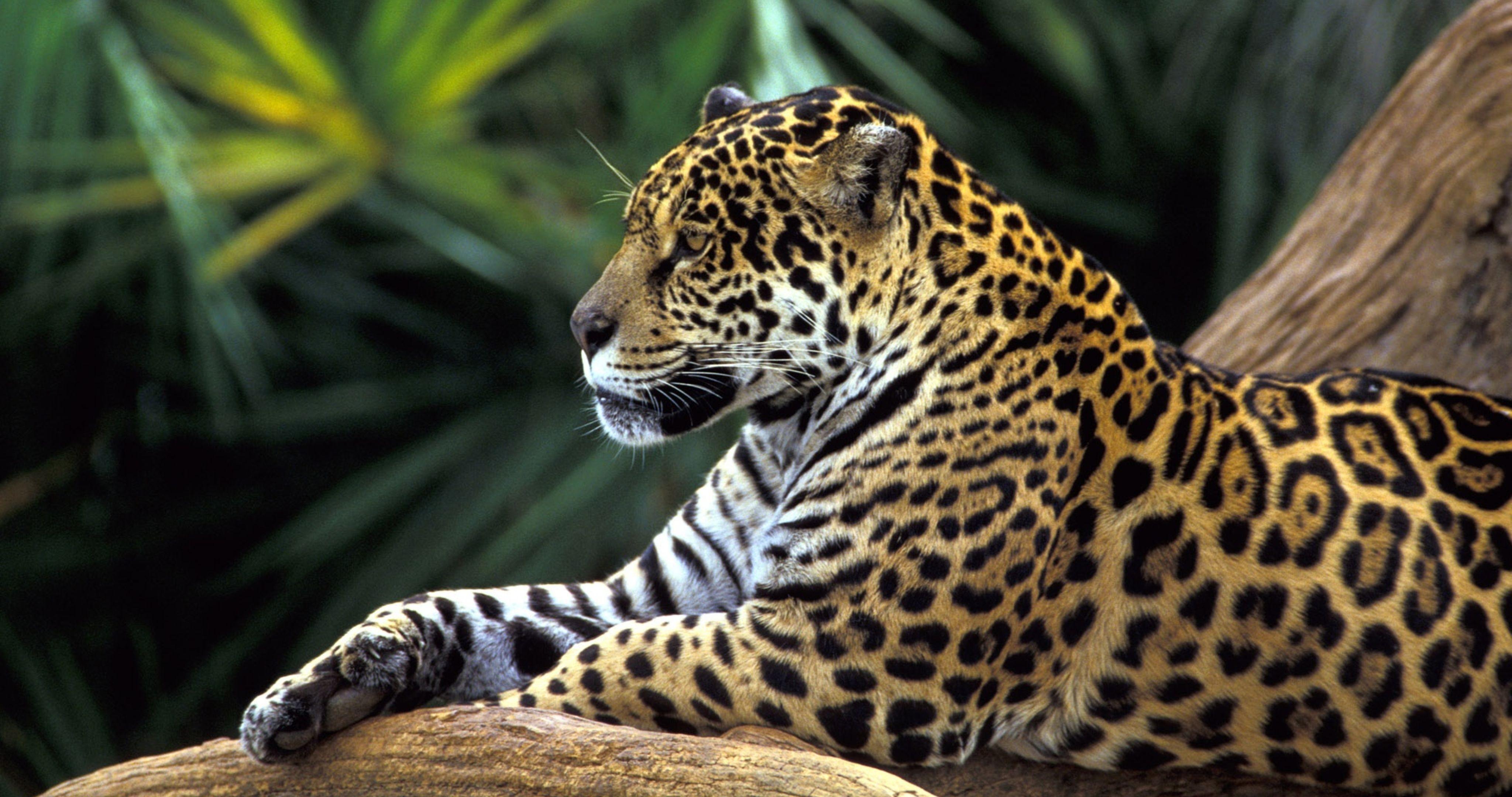 Обои для рабочего стола леопард скачать бесплатно