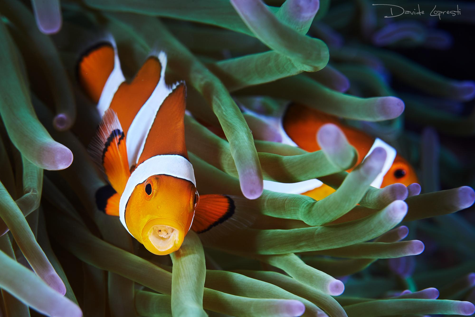 рыба клоун фото картинки проповедую, что хорошая