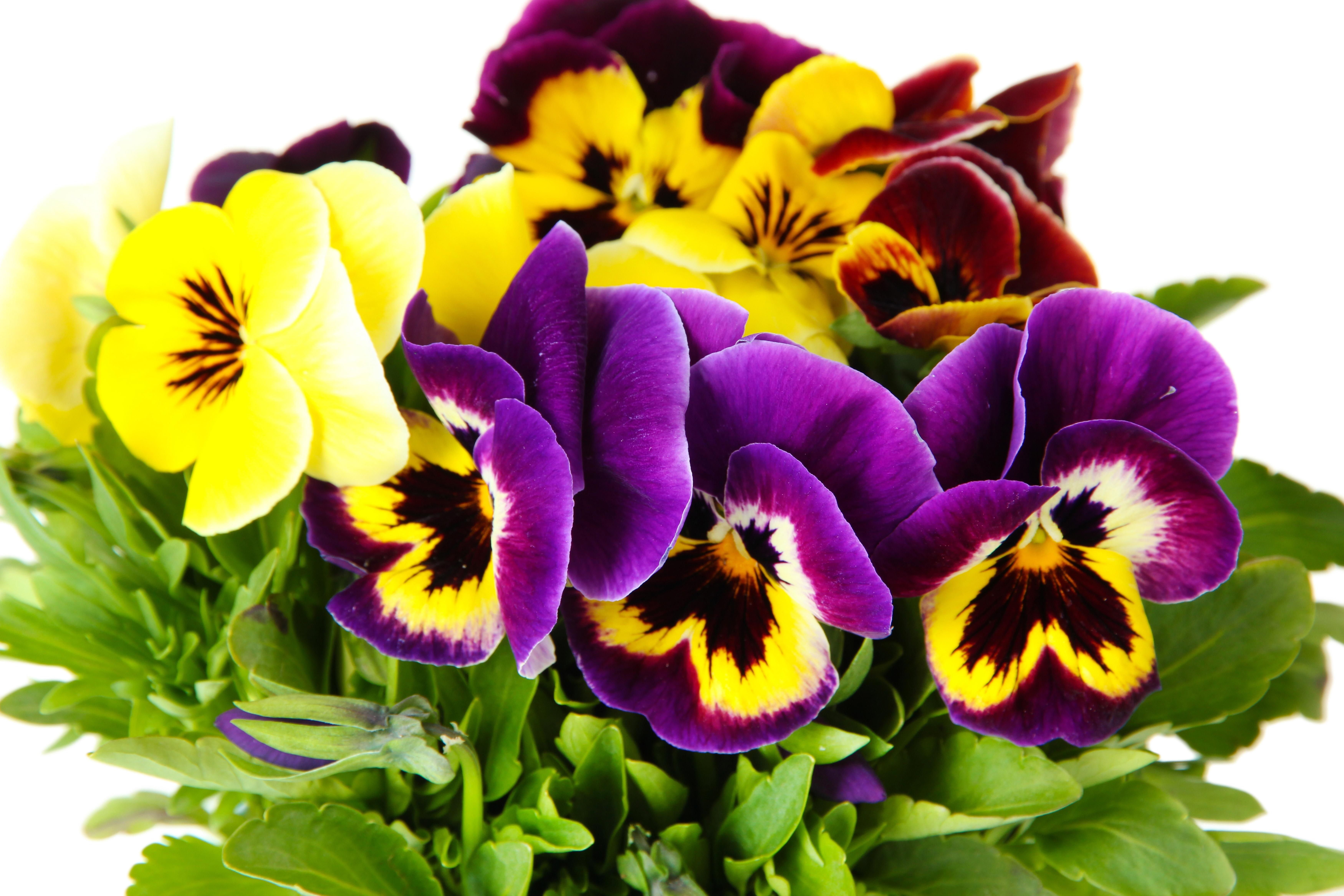 авторитет цветы фиалки фото красивые даже учет