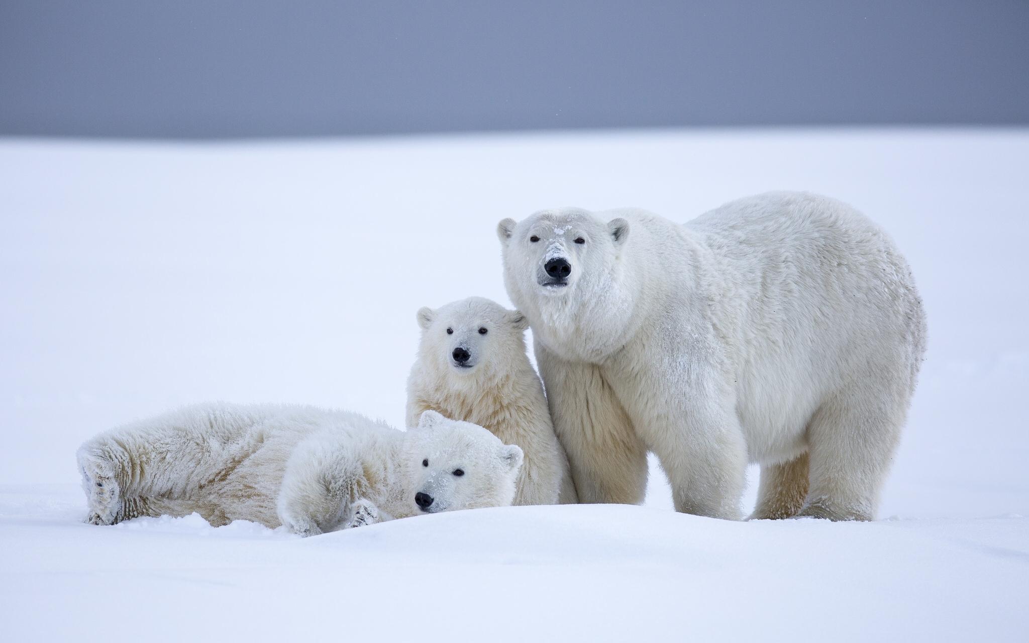 Картинка с белым медведем и медвежонком, смешные поздравительные
