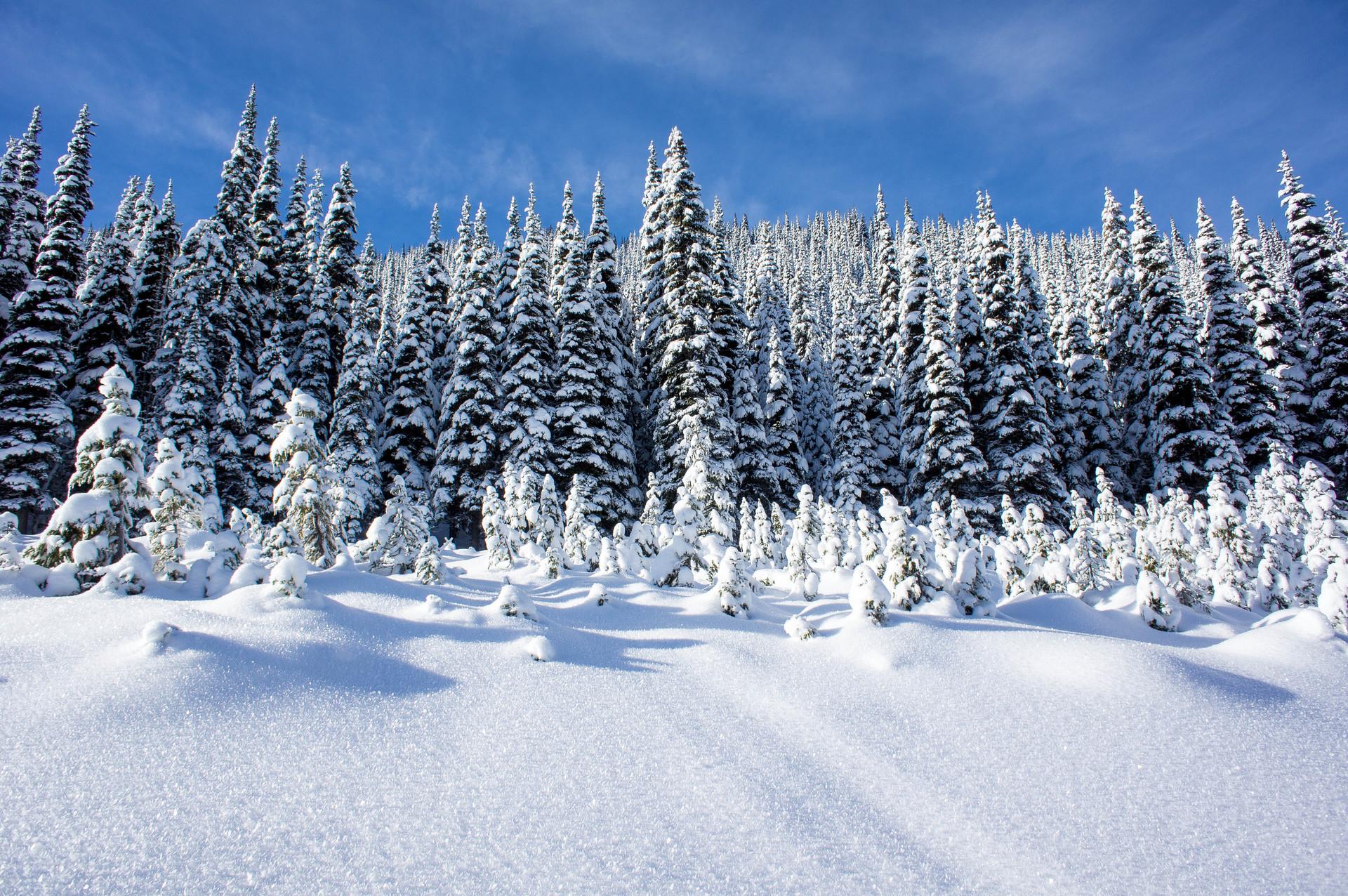природа снег ели лес зима бесплатно