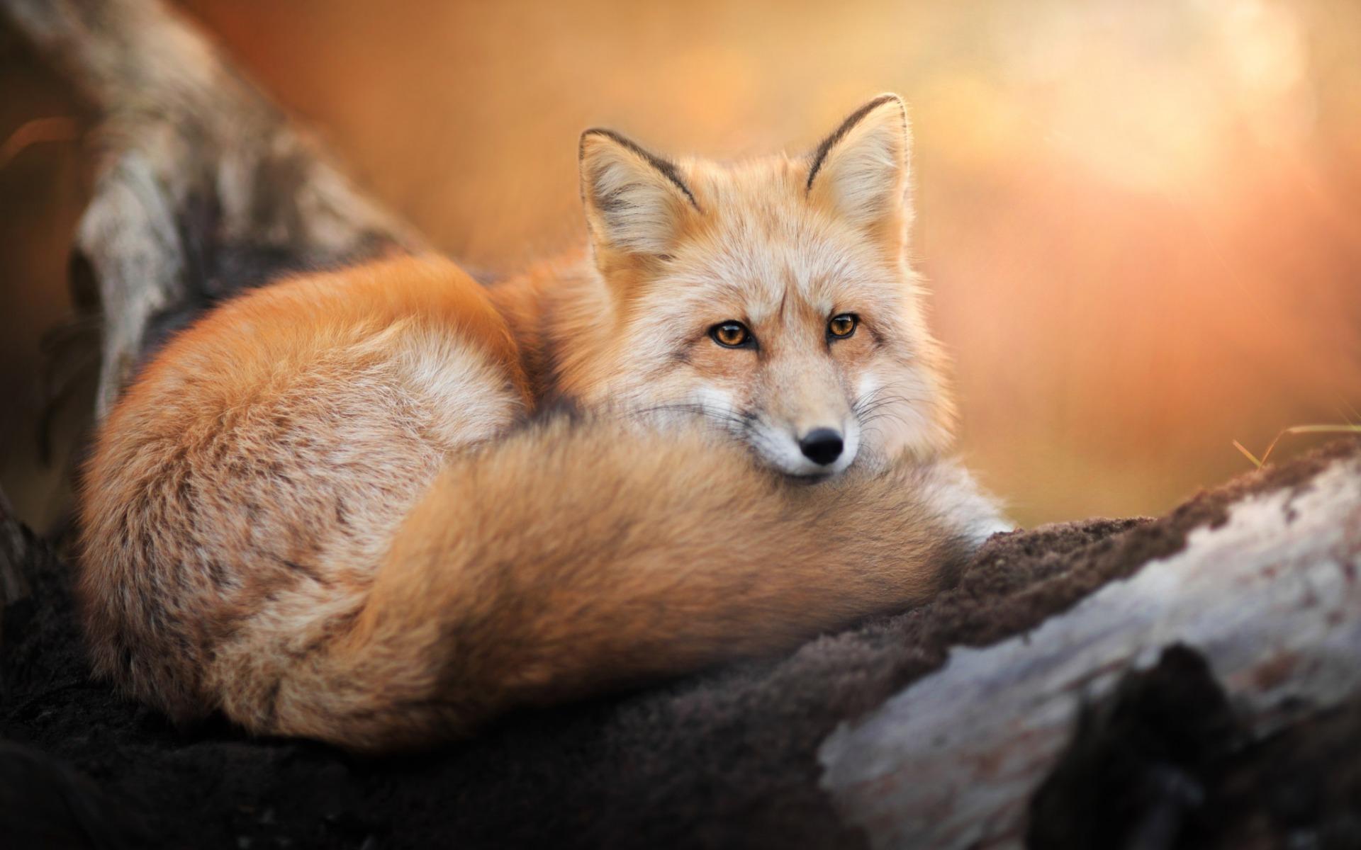 Годами, картинки лисы