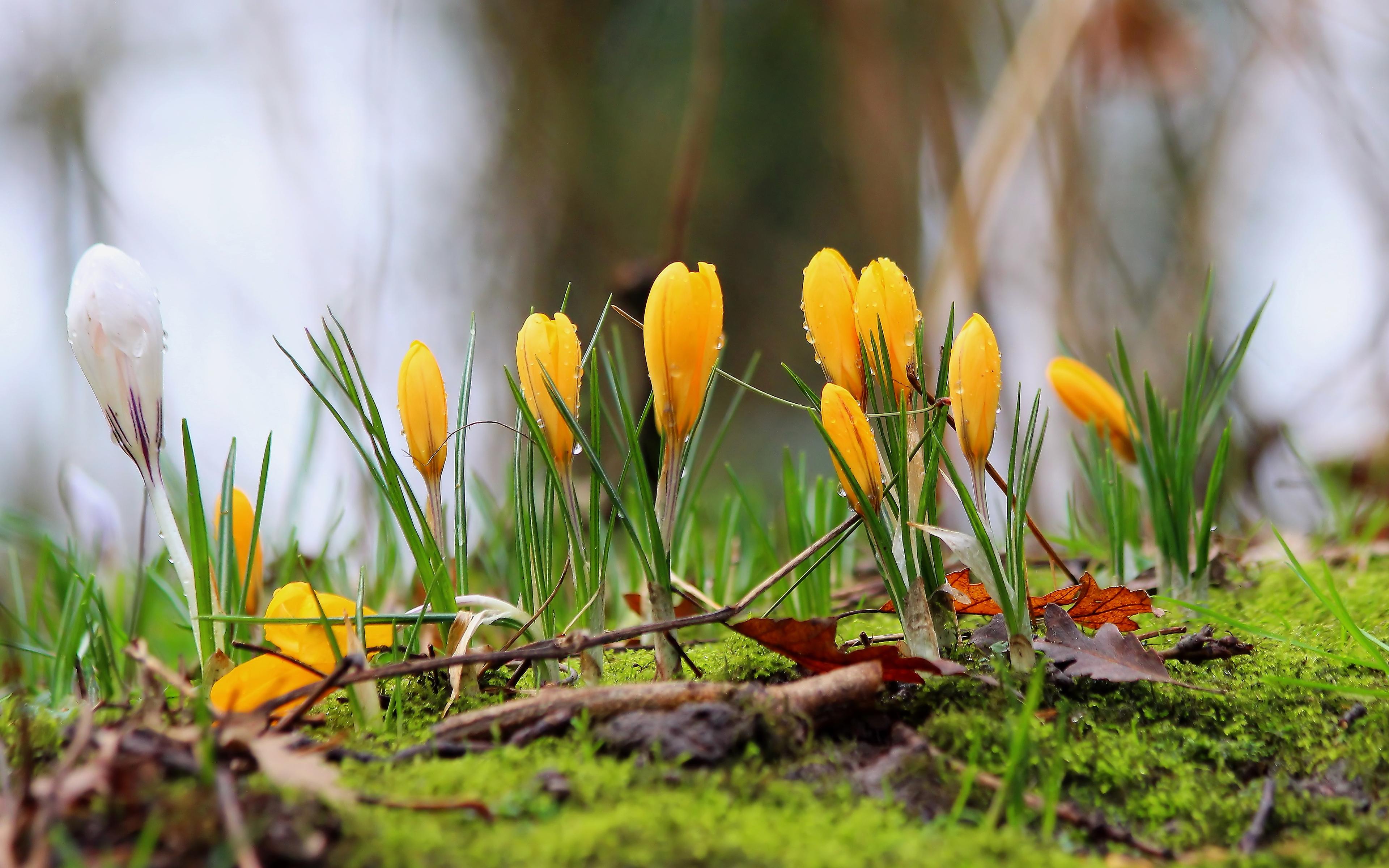 острову картинки весна ранняя крокусы дело организовал