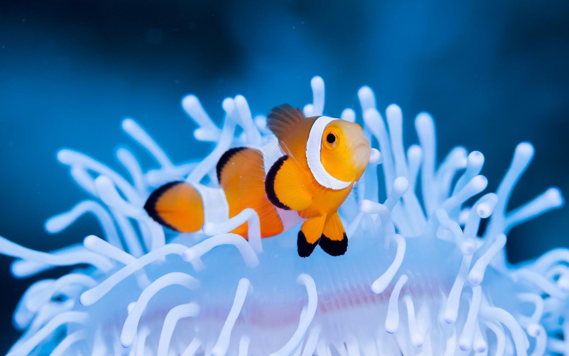 природа рыба клоун актинии загрузить
