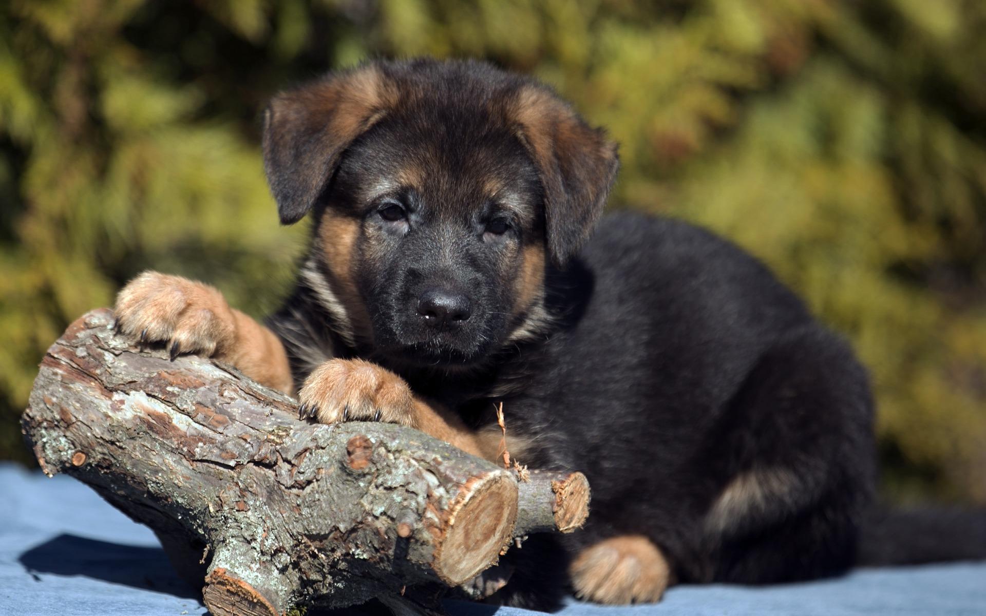 картинки собак овчарок немецких щенков пайетки
