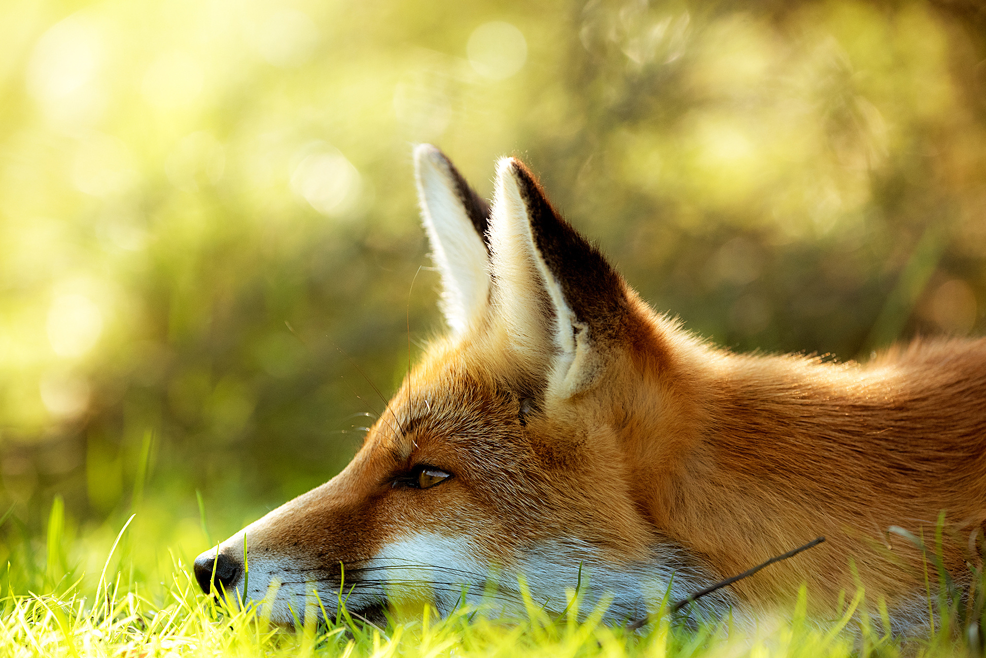 рыжая лиса листья бревно без смс