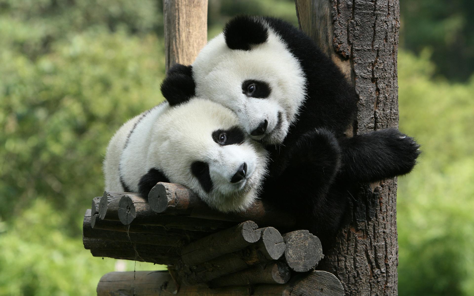 Открытки мишка панда, анимация