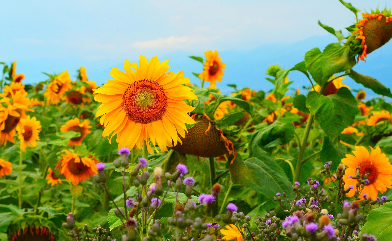 Красивые луговые цветы с подсолнухами фото