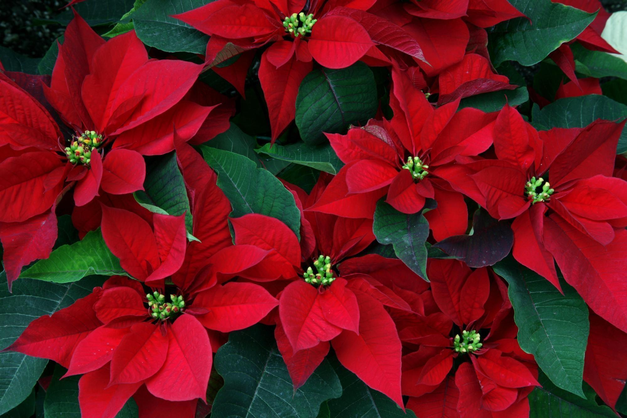 цветок рождественская звезда картинки фото