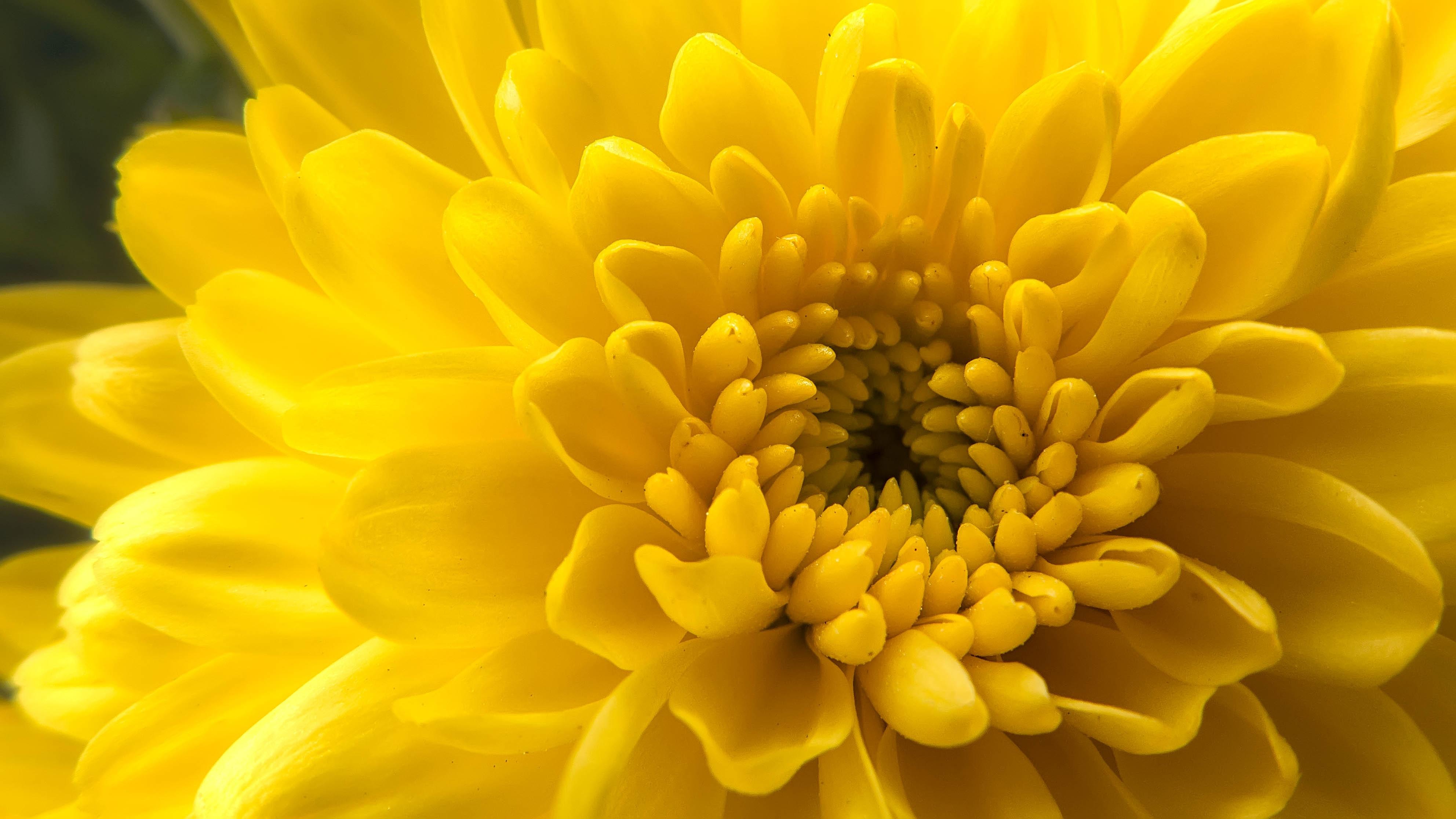 концентрируюсь обои на телефон хризантемы желтые выбранного способа, марки
