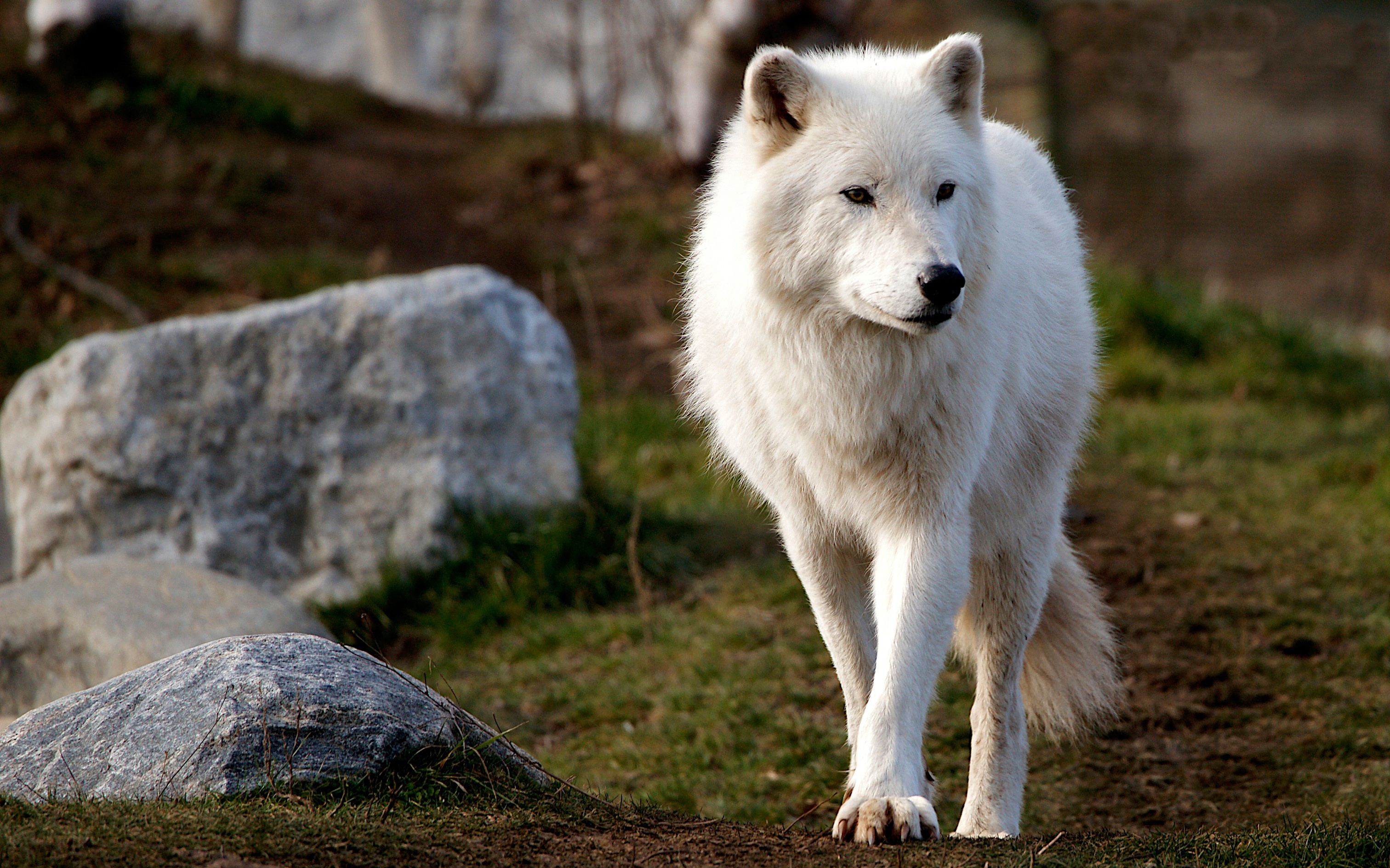 людям было загрузить фото белого волка могут выбирать