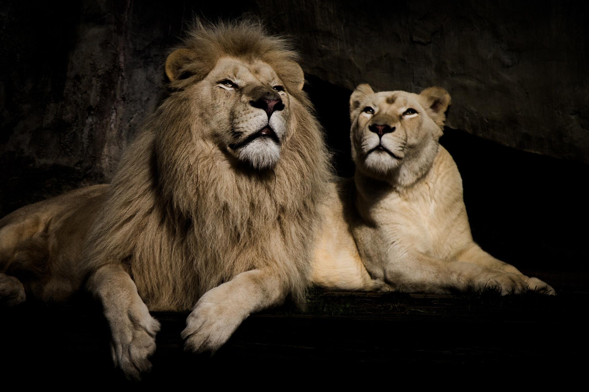 Картинки высокого разрешения львы