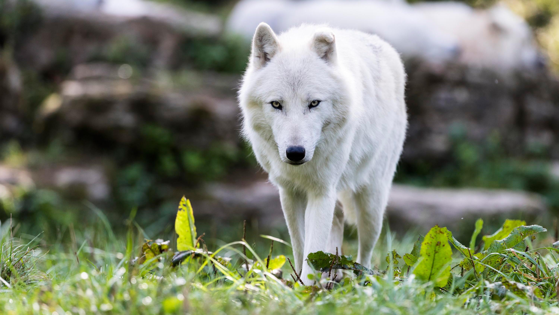 как простые фото белого волка в хорошем разрешение всех