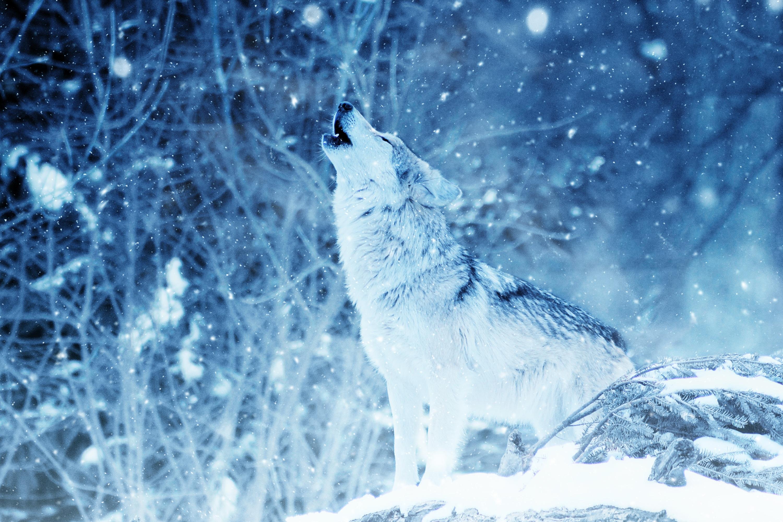 Волк в зимнем лесу картинки