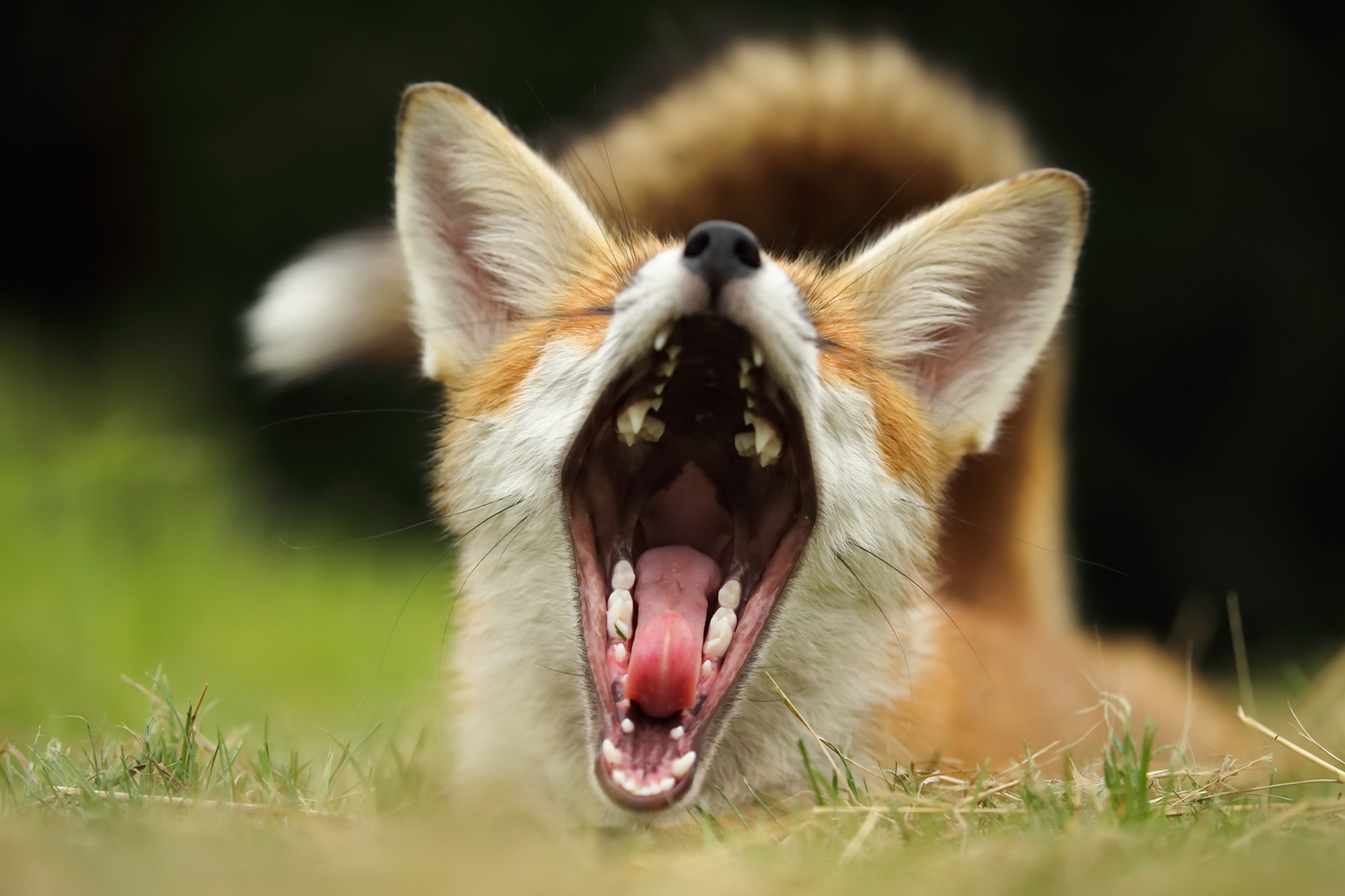 Оскал лисы картинки