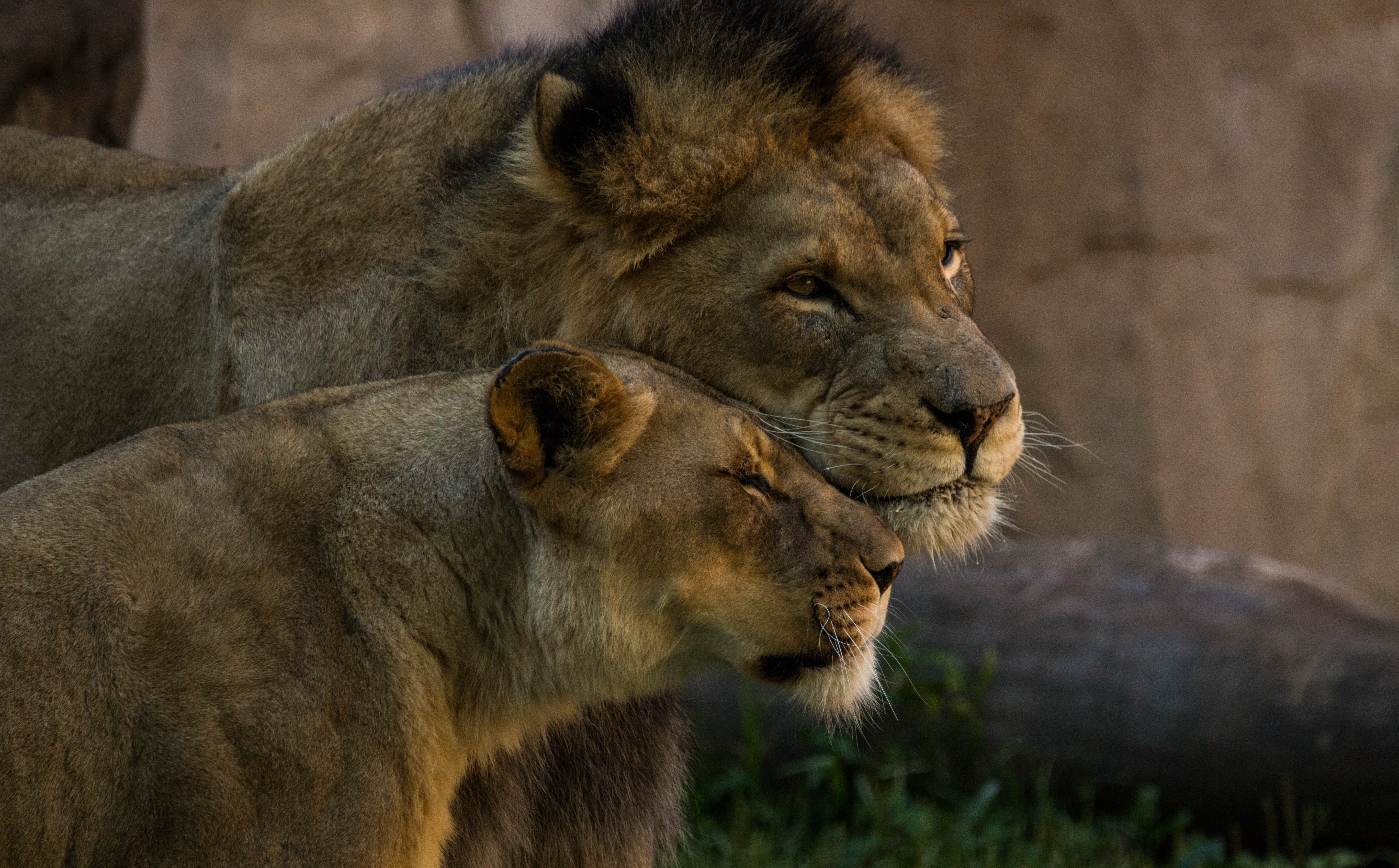 Интерактивные, картинки лев с львицей любовь