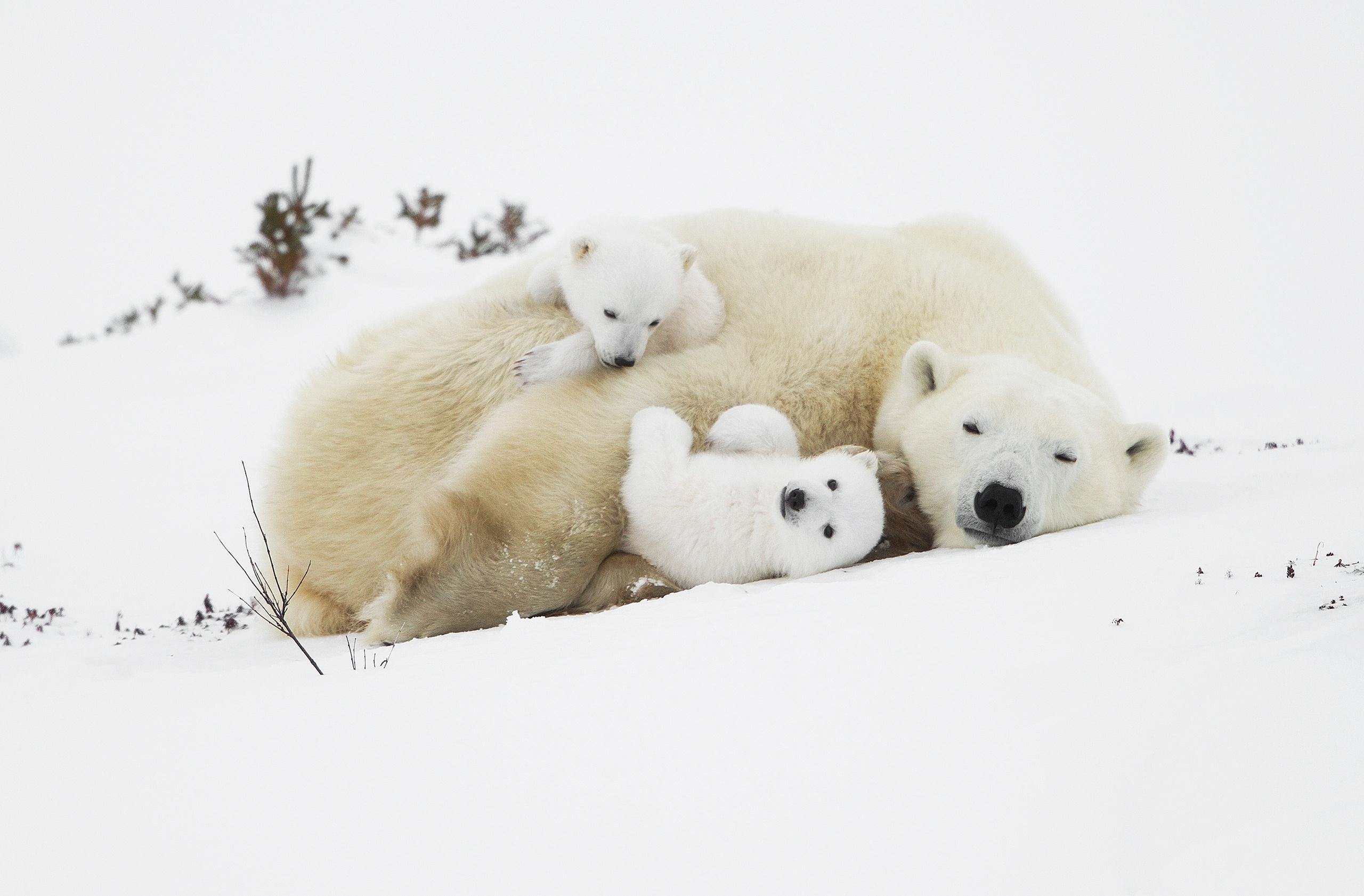 парень фото белой медведицы с медвежонком одну или