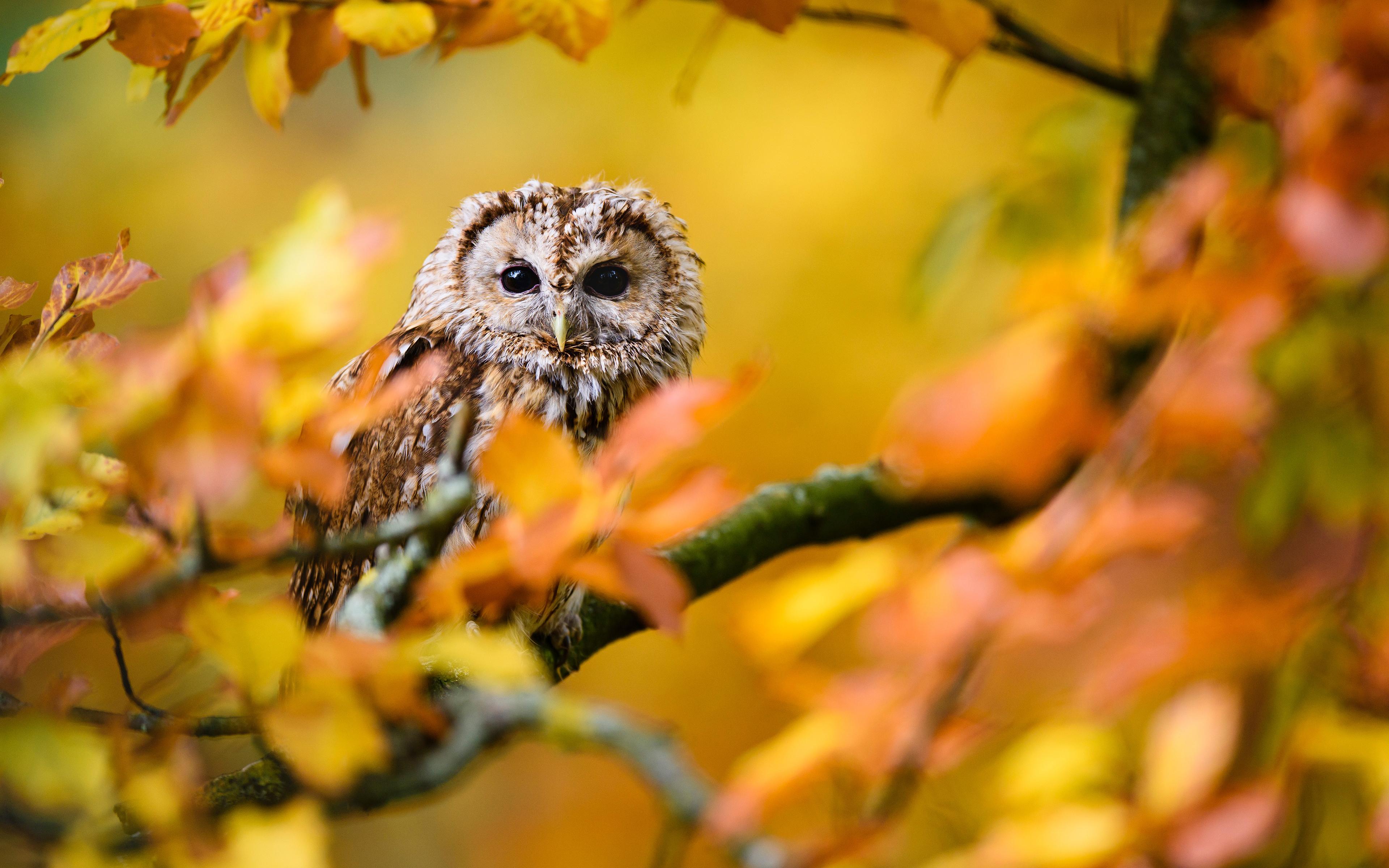 осенние картинки с совами что вам