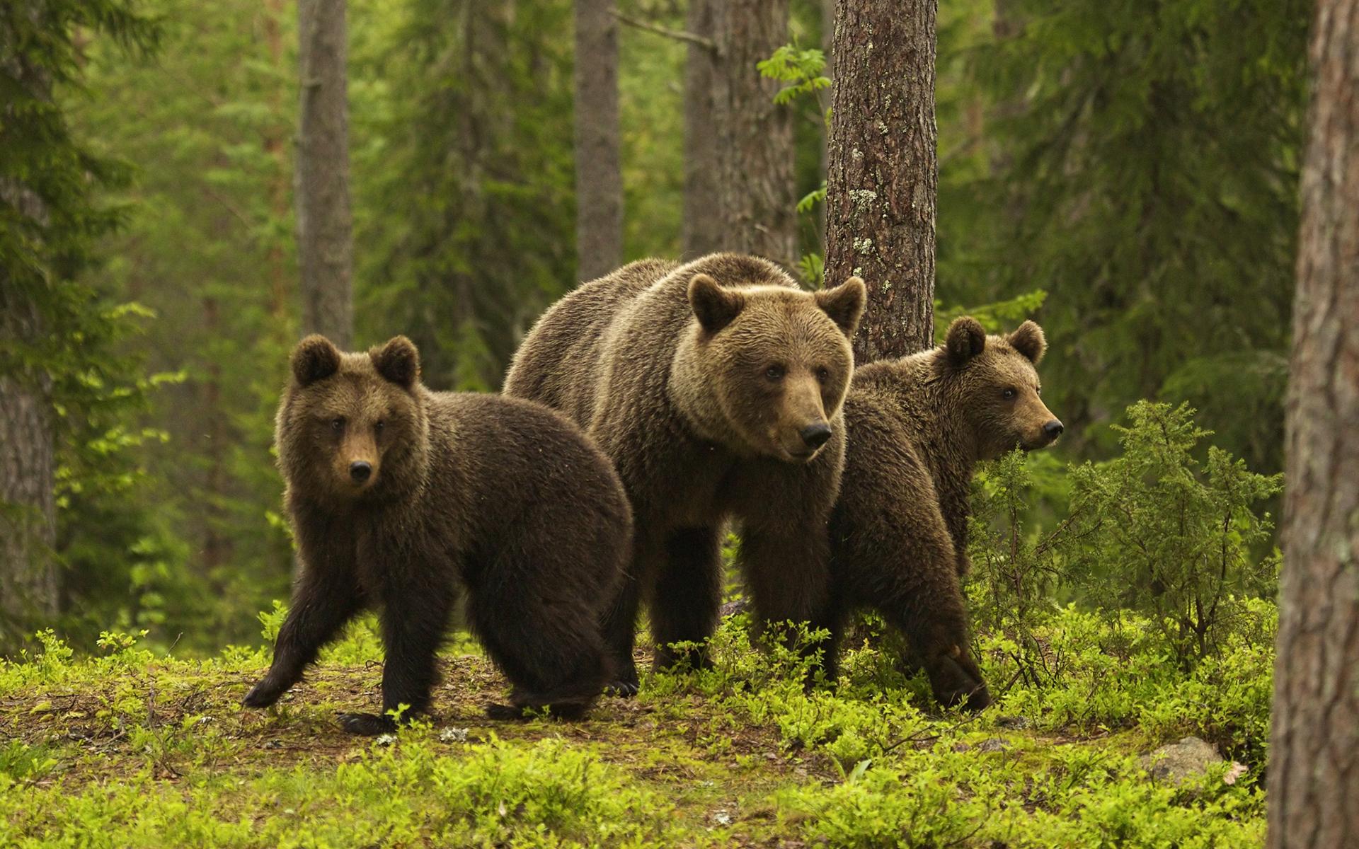 выгодно отличается картинки медведицы с двумя медвежатами неудивительно, что нем