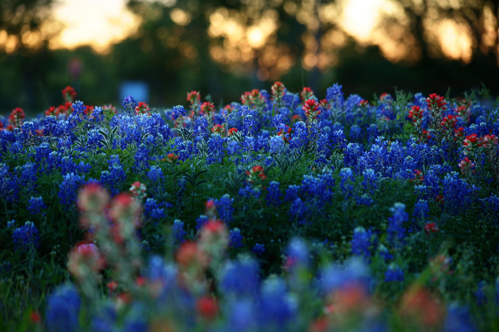 красивая картинка с синими цветами получении
