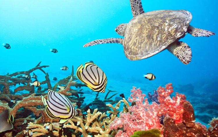 Скачать обои черепаха рыбки море