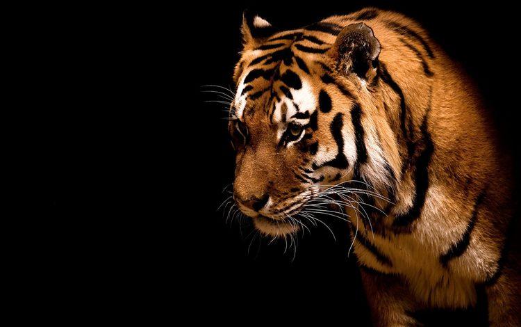 Обои тигр дикие кошки полоски зверь