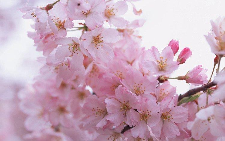 Скачать обои цветы розовые лепестки