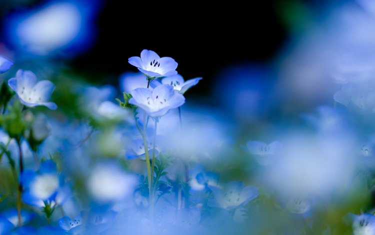 Скачать обои цветы голубые синие