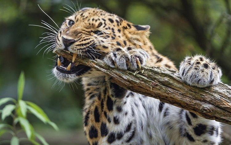 леопард животное
