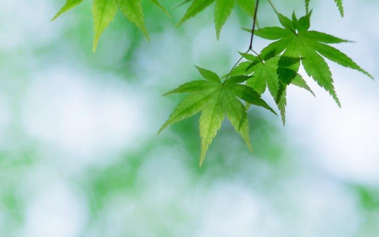 Молдавская свадебная белый лист зеленый клен