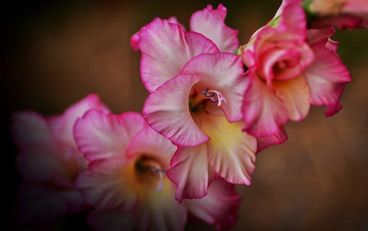 На рабочий стол обои цветы гладиолусы