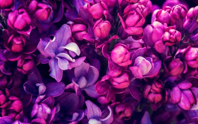 Цветы сиренево-фиолетовые