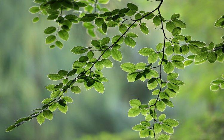 природа ветка листья nature branch leaves  № 2246 без смс