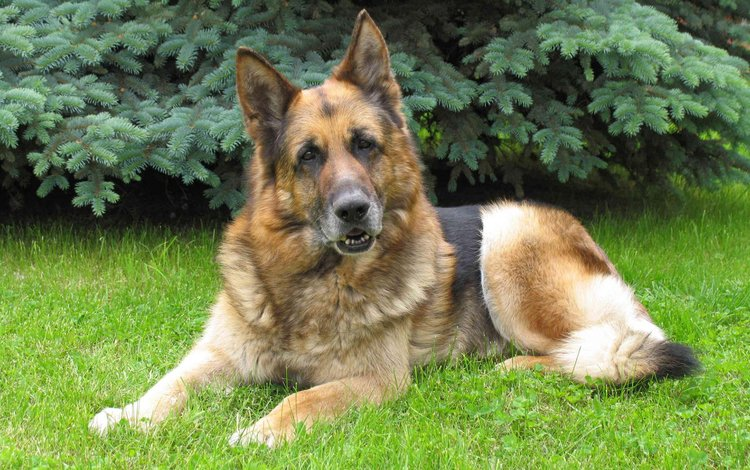 Обои морда, трава, взгляд, собака, немецкая овчарка для ...
